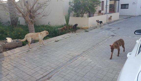 Köylülerde başıboş köpek tedirginliği