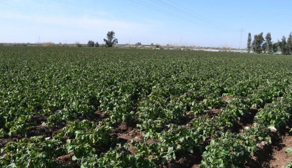 Patates üreticisinde mantari hastalık korkusu
