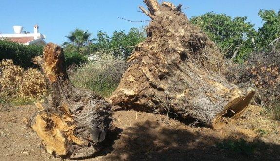 Bir anıt zeytin daha inşaatlara kurban oldu