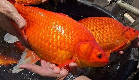 ABD'de futbol topu büyüklüğünde Japon balıkları istilası!