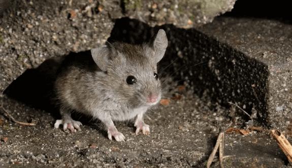 Ova fareleri evlerde cirit atıyor