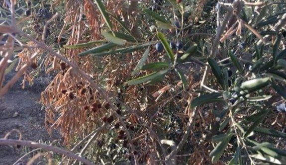 Zeytin ağaçlarını kemiren böcek mi var?