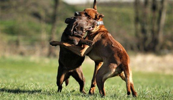 Köpeklerde kavga sonucu oluşan yaralara ilk 6 saat içinde müdahale edilmeli