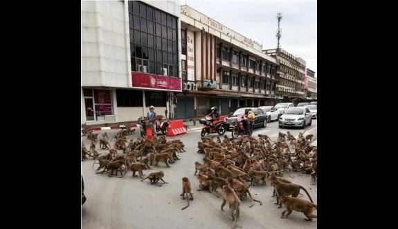 Tayland'da maymun çeteleri şehir merkezini ele geçirdi