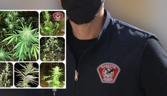 Narkotikten hintkeneviri yetiştiricilerine suçüstü