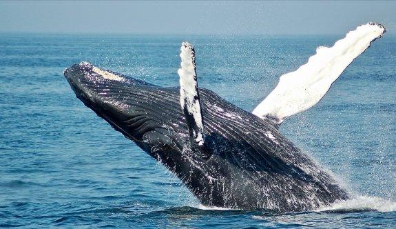 Norveç tepkilere rağmen mink balinası avlamaktan vazgeçmiyor