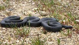 Baf'ı yılanlar bastı