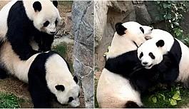 Hayvanat Bahçesi Boş Kalınca Stresten Kurtulup Çiftleşen Pandalar