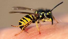 Arı sokmasına ne iyi gelir? Arı sokmasında alerji belirtileri nelerdir?