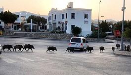 Bodrum'u domuzlar bastı