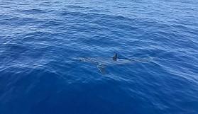 Tuttuğu balığı köpekbalığı yedi