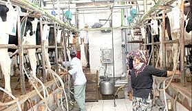 Büyükbaş hayvancı, süt fiyatlarından dertli