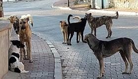 Başıboş köpek sayısı tavan yaptı