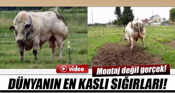 Dünyanın en kaslı sığırları